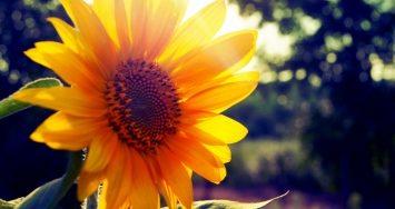 Top 10 Tác dụng chữa bệnh của hoa hướng dương